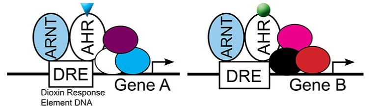 model-for-selective-AHR-activity2